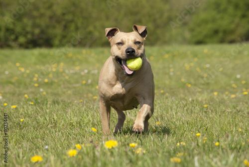 Poster Dog Spelende gezonde blije hond, Amerikaanse Staffordshire terrier, speelt met bal in het park