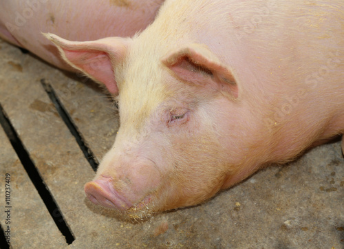 Fotografie, Tablou  tired asleep pig in pig-breeding farm
