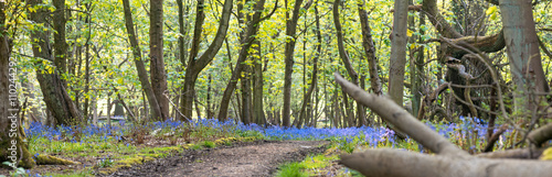 Garden Poster Forest Panorama of Old Woodland at Spring With Blue Spring Flowers