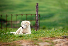 Puppy Of Great Pyrenean Mountain Dog Outdoors. Livestock Guardian Dog