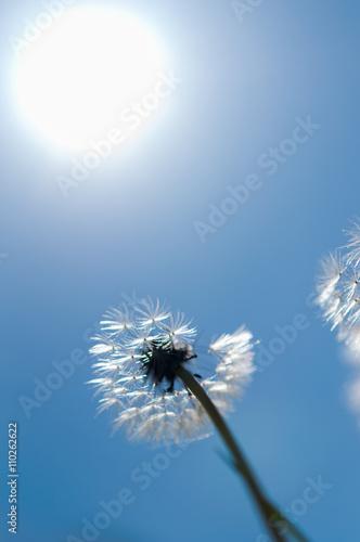 Fototapety, obrazy: flower dandelion in park