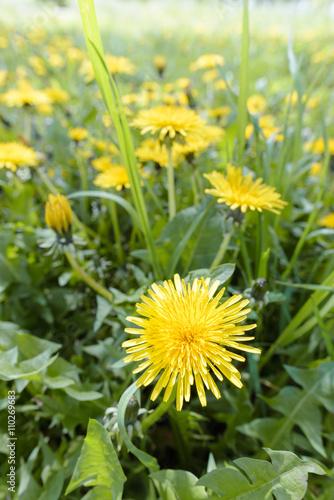 Fotografie, Obraz  Yellow Dandelion Flowers
