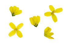 Set Of Pressed And Dried Yellow Forsythia