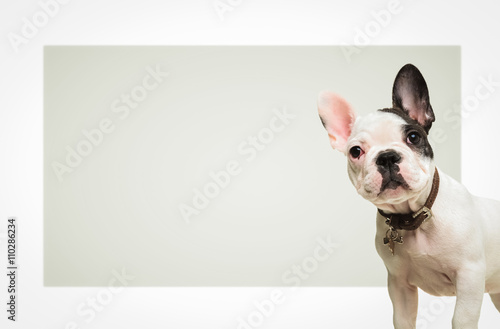Staande foto Franse bulldog french bulldog standing in front of a big blank board
