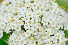 Blooming Viburnum Lantana Close-up
