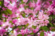 Cherry bloosom pink tree.