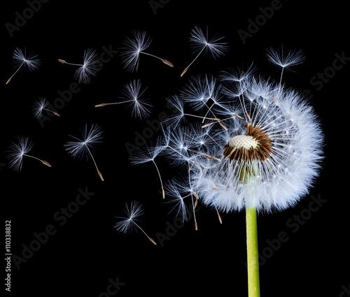 Dandelion blowing on black background
