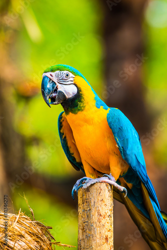 Fototapety, obrazy: Blue and Gold Macaw on the branch