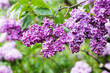 Lilac flowers after rain