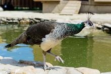 Bird Peacock Female
