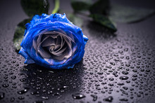 Flower, Blue Rose, Drop, Close...