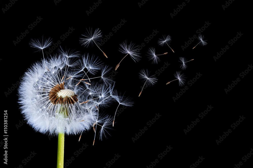 Fototapety, obrazy: Dandelion blowing on black background