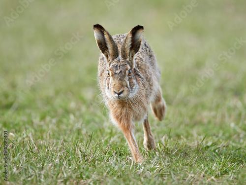 Valokuva European hare (Lepus europaeus)
