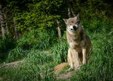 Grimmiger Wolfsblick
