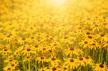 Rudbekia Flowers Field, Blossoming At Summer Time, Floral Summer Sunny Background