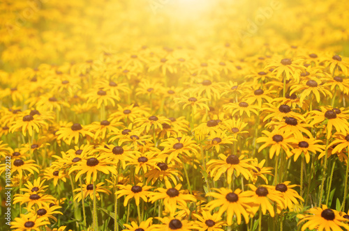 Valokuva  Rudbekia flowers field, blossoming at summer time, floral summer sunny backgroun