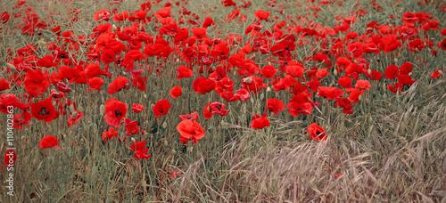 poppies field - 110402863