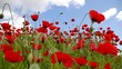 Red poppies in bloom on a green field