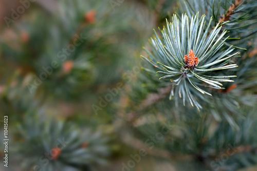 Fotografia, Obraz  Scots pine