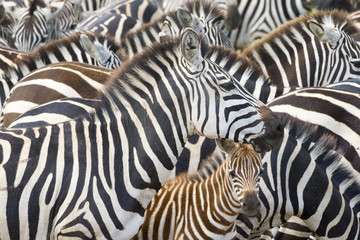 Fototapeta Plains zebra (Equus burchellii) portrait from mother with foal in herd, Serengeti national park, Tanzania.