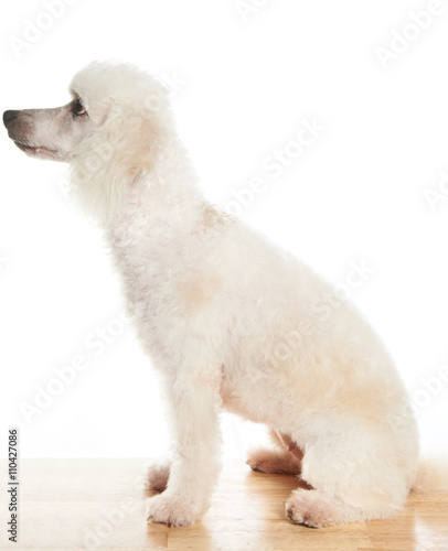 Tuinposter Ijsbeer white poodle in profile