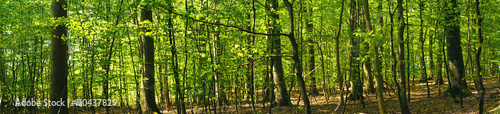 Wall Murals Forest Beech forest scenery in panorama