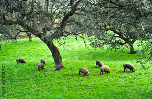 Foto  Iberian pig herd in the pasture, Spanish Product