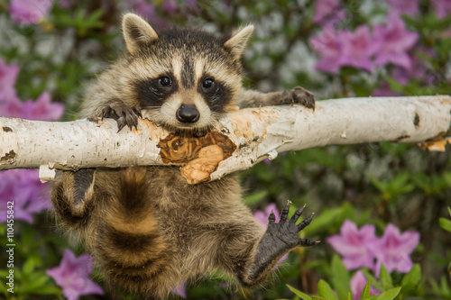 Baby Raccoon Canvas-taulu