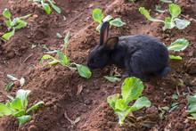 Black Rabbit Eating Herbs In Garden