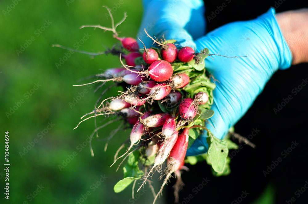 Fototapeta Rolniczka w niebieskich rękawiczkach trzymająca świeżą rzodkiewkę z ogrodu