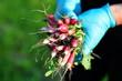 Rolniczka w niebieskich rękawiczkach trzymająca świeżą rzodkiewkę z ogrodu