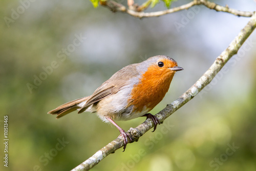 Photo  European robin in a branch in a woodland with a natural background setting
