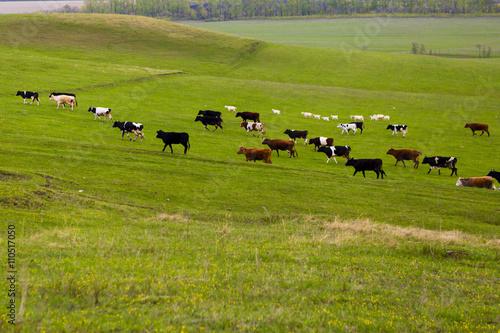 Poster de jardin Vache Cows on a summer pasture