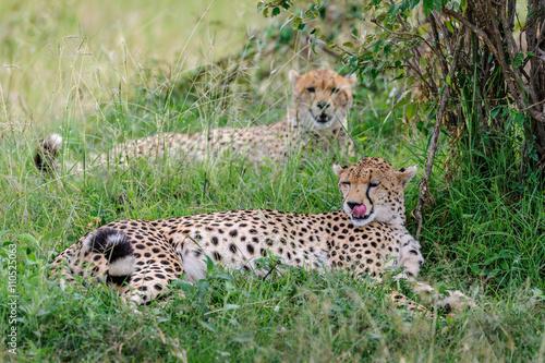 Valokuva  cheetah