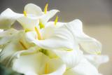 Calla lilies close-up.