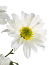 Daisy Standing On A White Background