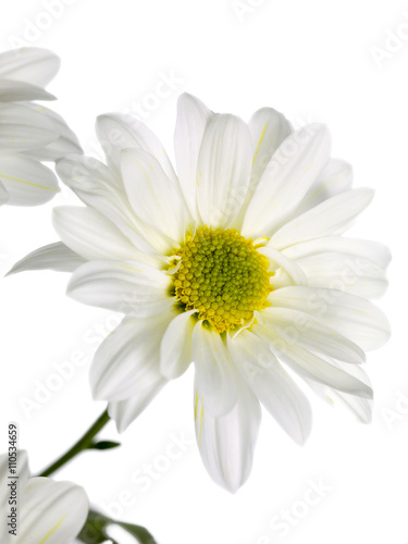 Photo daisy standing on a white background