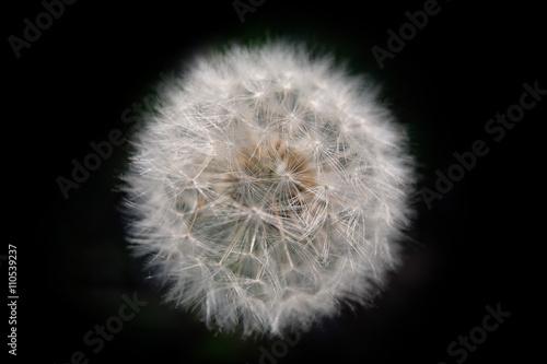 Pissenlit Fleur Macro Flore Macrographie Boule Blanche Rond Cerc