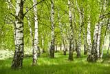 Fototapeta Forest - Brzozowy zagajnik wczesną wiosną w pogodny dzień.Młode brzozy z młodymi zielonymi liśćmi w świetle słońca.