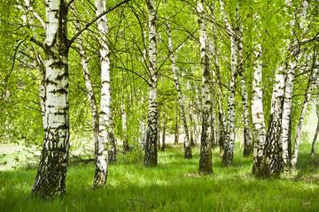 FototapetaBrzozowy zagajnik wczesną wiosną w pogodny dzień, Młode brzozy z młodymi zielonymi liśćmi w świetle słońca.