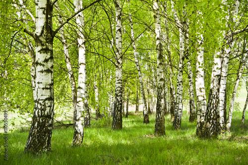 Obraz premium Brzozowy zagajnik wczesną wiosną w pogodny dzień, Młode brzozy z młodymi zielonymi liśćmi w świetle słońca.