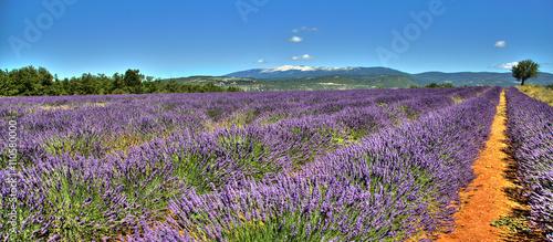 Garden Poster Lavender Vue sur le Mont Ventoux depuis un champ de lavandes sur la route de Sault