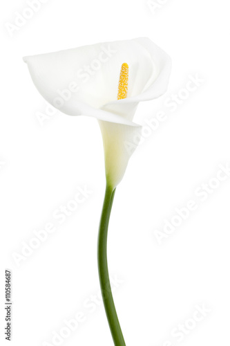 white calla lily Wallpaper Mural