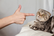 A Person In Anger Pokes The Index Finger In A Frightened Cat Scottish Fold, Which Is Afraid To Move