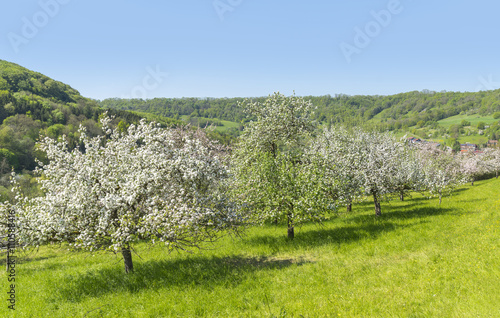 Stampe  blooming apple trees