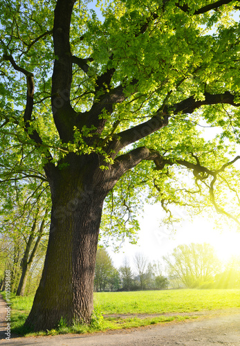 Big oak tree in the park. Spring landscape.