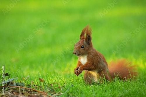 Obraz na dibondzie (fotoboard) Wiewiórka (Sciurus vulgaris)