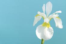 Japanese White Iris Flower In ...