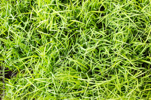 Cadres-photo bureau Herbe rice plant