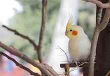 Cute White Cockatiel